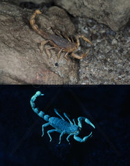 Fluorescent scorpion. Buthus occitanus  European scorpion  photographed with visible light (above) and under ultraviolete light (bellow). Portugal