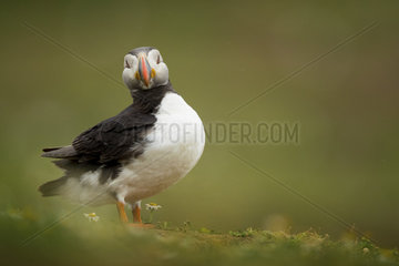 A Puffin (Fratercula arctica) poses off the coast of Wales in the UK.