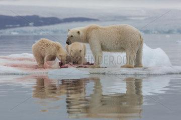 Polar bear (Ursus maritimus) female and cubs eating a seal on a piece of drifting ice  Wahlenbergfjord  Nordaustlandet  Spitzberg  Svalbard.
