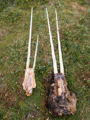 Narwhal skulls (Monodon monoceros) hunted by Inuit with 2 teeth  rare - but regular - in males  Greenland