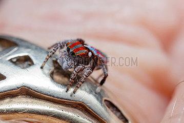 Wedding ring spider (Marzatus sp)  Australia