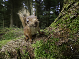 A curious Red Squirrel (Sciurus vulgaris) approaches in the woodlands of Yorkshire in the UK.