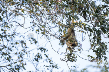 Black and gold Howler monkey (Alouatta caraya)  on a tree  Pantanal wetlands  Mato Grosso  Brazil