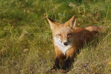 Young Red Fox lying down in grass