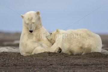 Polar Bear( Ursus maritimus ) nursing cub along a barrier island outside Kaktovik  Every fall  polar bears (Ursus maritimus) gather near Kaktovik on the northern edge of ANWR  Barter Island  Arctic National Wildlife Refuge  Alaska
