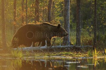 Brown Bear (Ursus arctos) skirting a waterhole against the sky  Finland