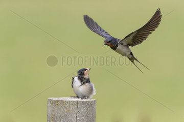 Barn Swallow (Hirundo rustica) in flight over his youngster  England