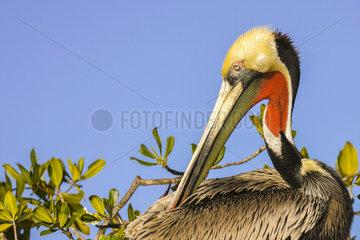 Brown pelican (Pelecanus occidentalis)  Magdalena Bay (Madelaine Bay)  Puerto San Carlos  Baja California Sur  Mexico