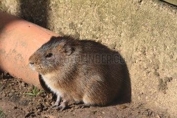 Greater guinea pig (Cavia magna)
