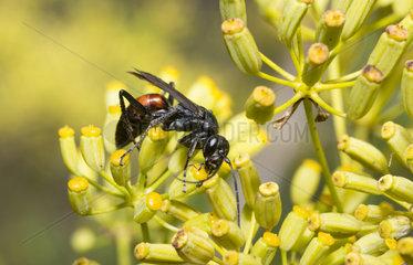 Spider wasp (Agenioideus usurarius) on Shrubby Hare's Ear|(Bupleurum fruticosum)  Mont Ventoux Biosphere reserve  France