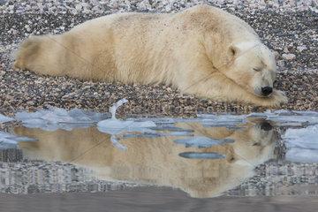 Polar bear (Ursus maritimus) adult male lying at the water's edge  Wahlenbergfjord  Nordaustlandet  Spitzberg  Svalbard.