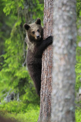 Brown Bear (Ursus arctos)  young climbing a tree as it approaches a potential danger in the heart of the forest  Finland