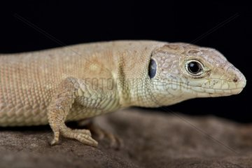 Kurdistanian ocellated lizard (Timon kurdistanicus)