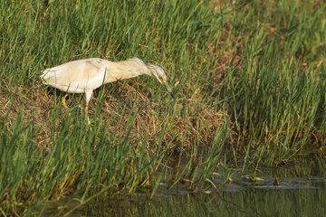 Squacco Heron (Ardeola ralloides). Hunting at the bank slope of a canal. Environs of the Ebro Delta Nature Reserve  Tarragona province  Catalonia  Spain.