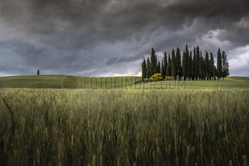 Cypres trees in Val d'Orcia  San Quirico d'Orcia  Siena  Tuscany  Italy