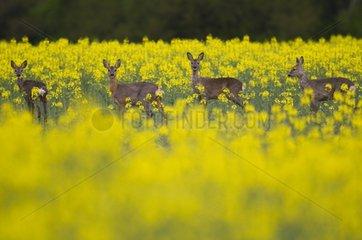 Four European Roe Deer in a field of Turnip in Bavaria