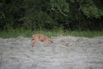 Roebuck (Capreolus capreolus) female chasing another  Lorraine  France