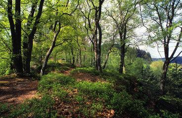 Holderkop forest  ONF reserve  Northern Vosges Regional Nature Park  Alsace  France