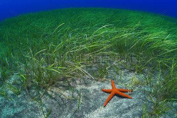 Starfish (Echinaster sepositus) in phanerogams. Flore  underwater backgrounds of the Canary Islands  Tenerife.