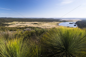 Southern grasstree (Xanthorrhoea australis)  Narawntapu National Park  Tasmanie