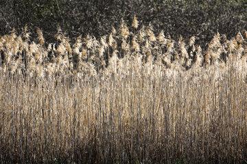 Reeds (Phragmites sp)  La-Palud-sur-Verdon  Verdon Regional Nature Park  Alpes de Haute Provence  France