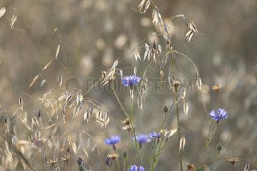 Garden cornflower (Centaurea cyanus) and Wild oat (Avena fatua)  Lorraine  France