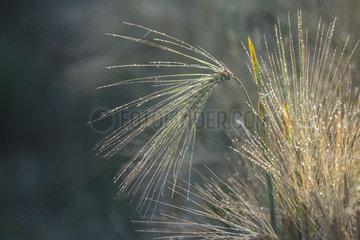 Bearded Wheat (Triticum sp)  dewy covered ears  Lorraine  France