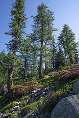 Rhododendrons and Larches  Mercantour National Park  France