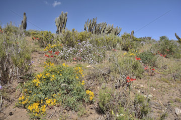 Flowering Desert  near Socos  Ovalle  IV Region of Coquimbo  Chile
