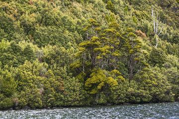 Pencil Pine (Athrotaxis cupressoides)  Hartz Mountains National Park  Tasmania  Australia