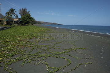 Beach Morning Glory (Ipomoea pes-caprae) on black sand  Saint-Paul beach  Reunion Island