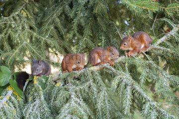 Red squirrel (Sciurus vulgaris) litter squirrel on a branch  Lorraine  France
