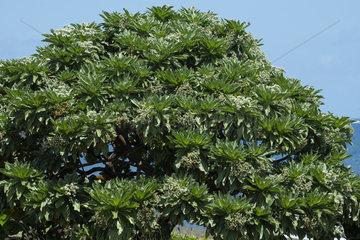 Velvetleaf Soldierbush (Heliotropium foertherianum)  Reunion Island