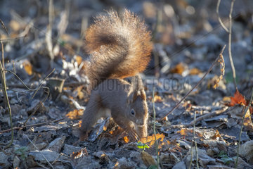 Red squirrel (Sciurus vulgaris) hiding a hazelnut under the leaves  Lorraine  France