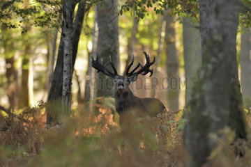 Red Deer (Cervus elaphus) male bellowing in the undergrowth  Boutissaint Forest  Yonne  Burgundy  France