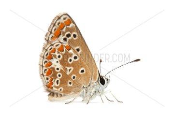 Brown Argus female on white background