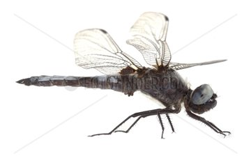 Scarse Chaser on white background