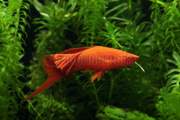Swordtail (Xiphophorus helleri). Xipho veil red intense male