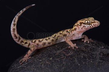 Siamese leaf-toed gecko (Dixonius siamensis)