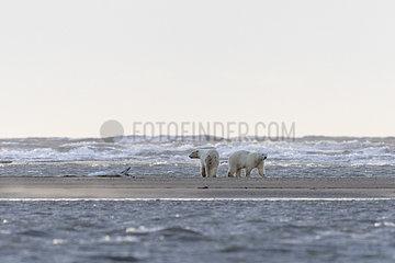 Polar Bear( Ursus maritimus ) with cub walking along a barrier island outside Kaktovik  Every fall  polar bears (Ursus maritimus) gather near Kaktovik on the northern edge of ANWR  Barter Island  Arctic National Wildlife Refuge  Alaska