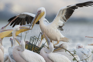 Great White pelican (Pelecanus onocrotalus) groupe on the lake  Ziway lake  Rift Valley  Ethiopia