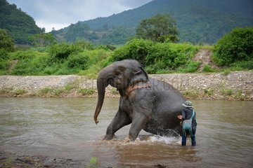 Healer and Asian Elephant in a river - Thailand