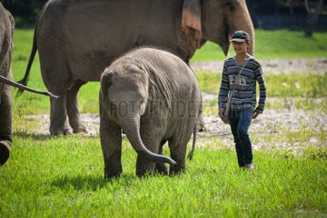 Healer and young Asian Elephant in the grass - Thailand