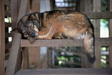 Sleeping dog on a walk wooden staircase - Thailand