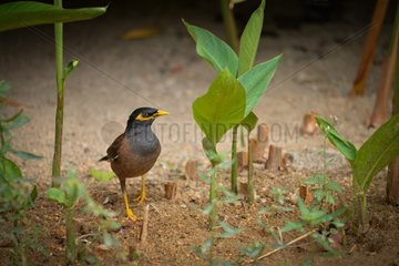 Common Myna on ground - Thailand