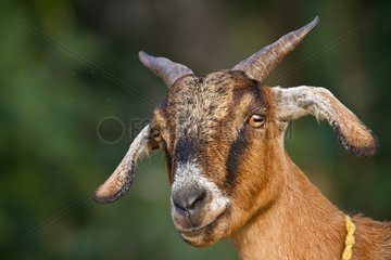 Portrait of domestic Goat - Terai Nepal