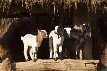 Young domestic Goats on log - Terai Nepal