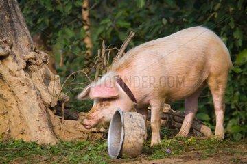 Pork and bowl - Nepal Terai