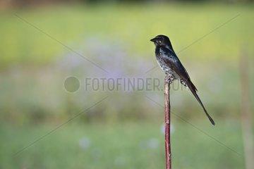 Black Drongo on a branch - Bardia Nepal