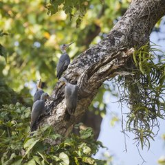 Great slaty woodpeckers on a trunk - Bardia Nepal